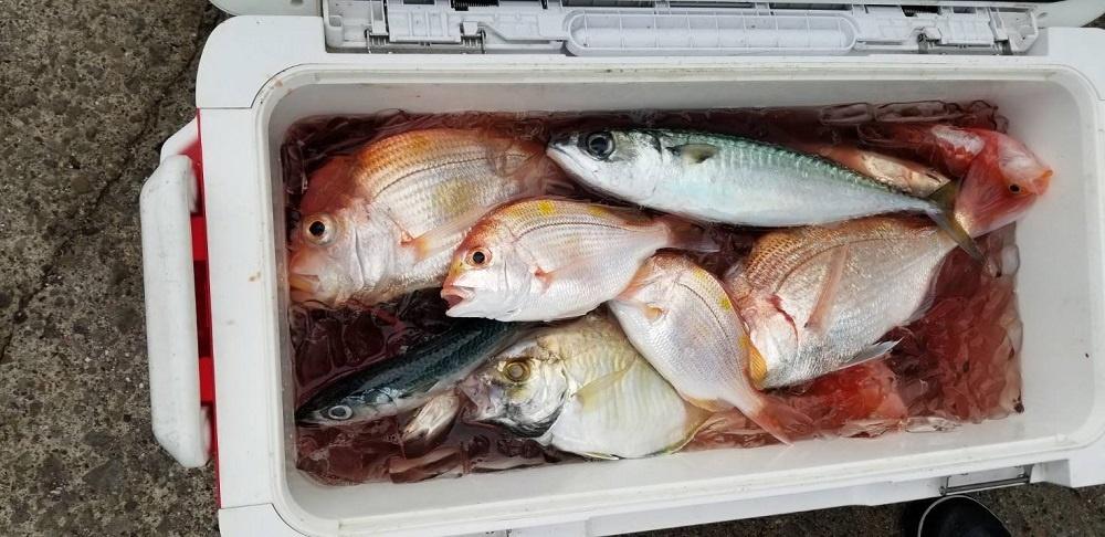 須崎 コマセ釣り  サバ