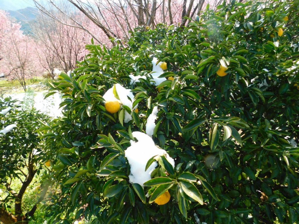 雪割り桜  須崎